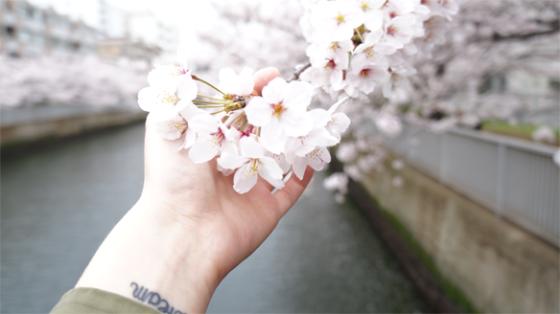 Kirschblüten in Asakusa, Tokyo, Japan