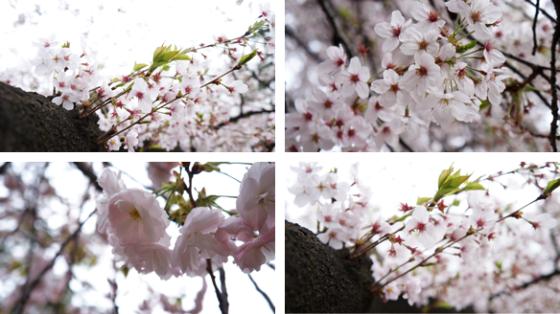 Kirschblüten in Shinjuku