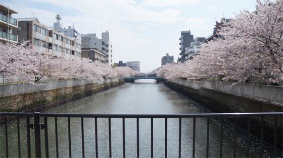 Kirschblüten in Asakusa