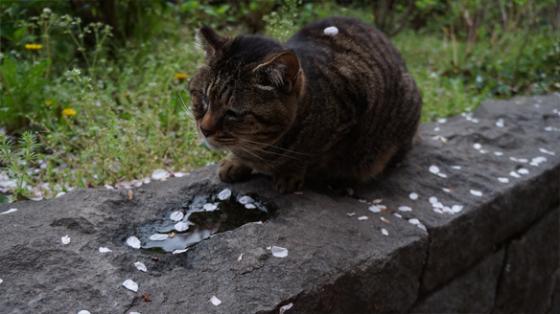 Katze unter Kirschblüten