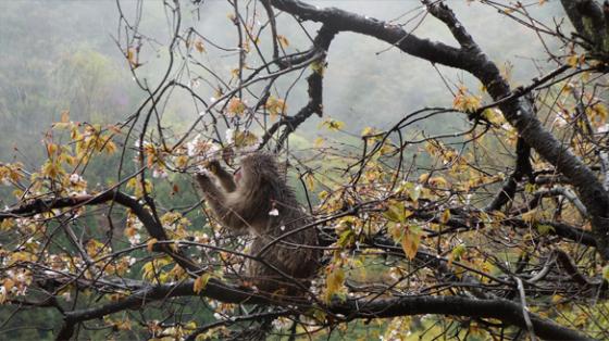 Affe isst Kirschblüten