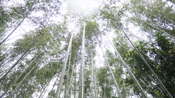 Bambus Hain