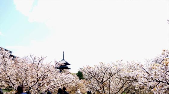 Auch am Ninna-ji blühen die Kirschblüten noch.
